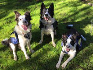 Şili Ormanlarına Yardım Eden Köpekler-10