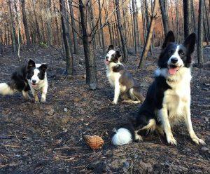 Şili Ormanlarına Yardım Eden Köpekler-4