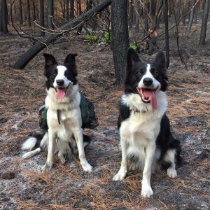 Şili Ormanlarına Yardım Eden Köpekler-6