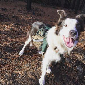 Şili Ormanlarına Yardım Eden Köpekler-8
