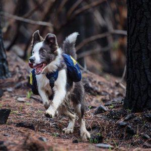 Şili Ormanlarına Yardım Eden Köpekler-9